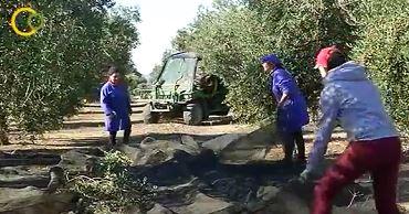 ADEMUR Jaén y FICA reclaman a los empresarios agrícolas que no dejen de lado a las mujeres rurales en la contratación de la campaña olivarera